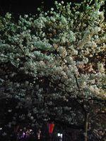 Sakura in the night Nakameguro