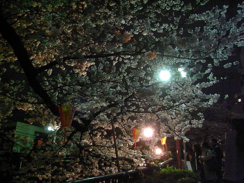 Sakura in the night Nakameguro (9)